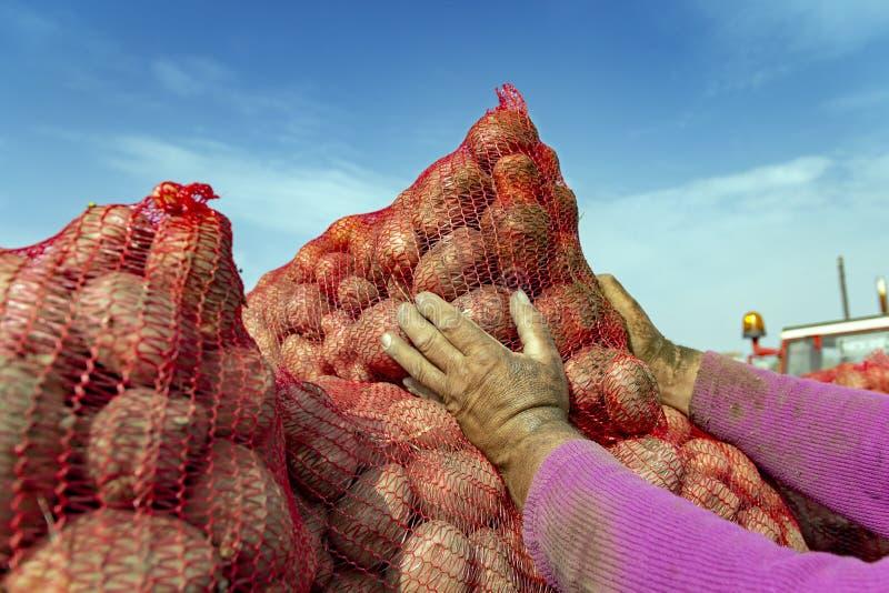 Bonde Loading Harvested Potatoes in i traktorsläpet arkivfoton