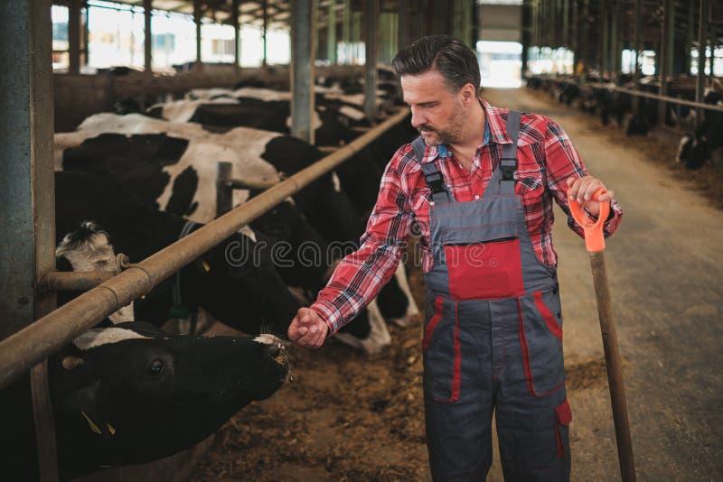 Bonde med showel i en ladugård på en mejerilantgård arkivfoton