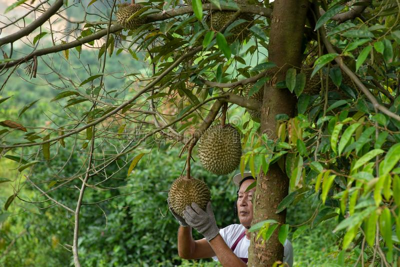 Bonde- och slåndurianträd royaltyfria bilder