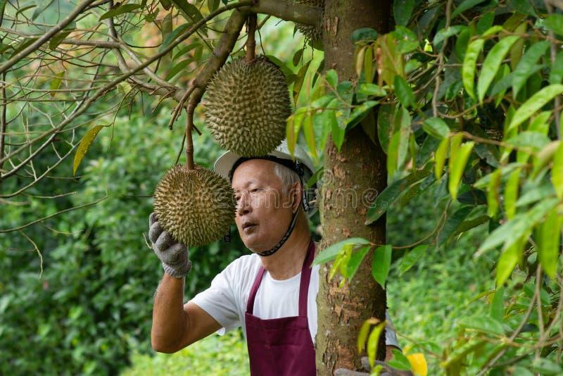 Bonde- och slåndurianträd royaltyfri fotografi