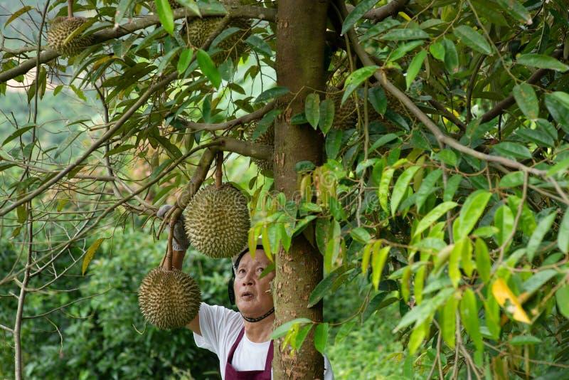 Bonde- och slåndurianträd fotografering för bildbyråer