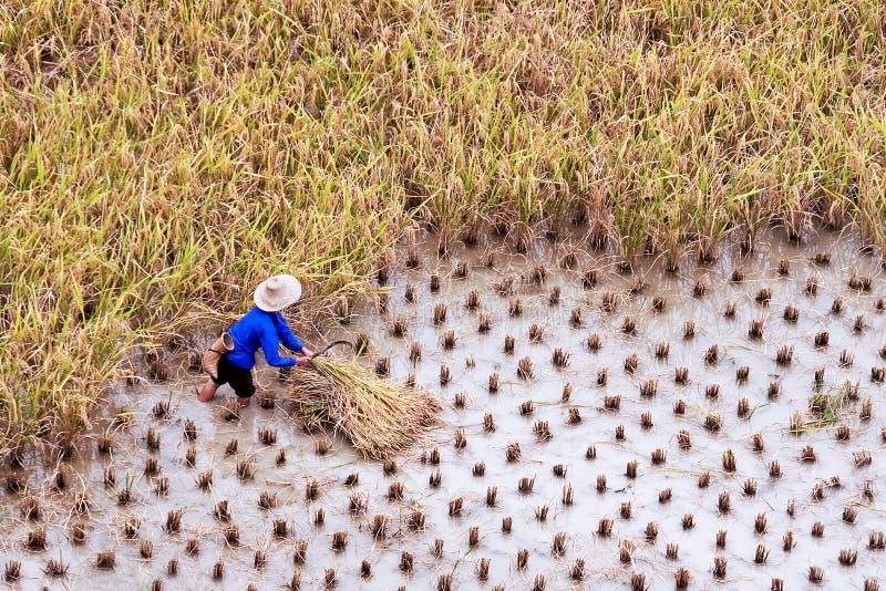 Bonde som arbetar i ett rårisfält under skörd royaltyfria foton