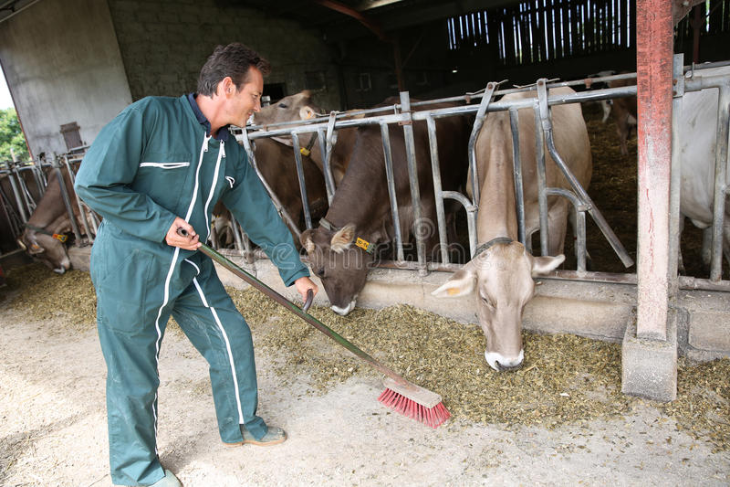 Bonde som arbetar i ladugården, äta för kor royaltyfria foton
