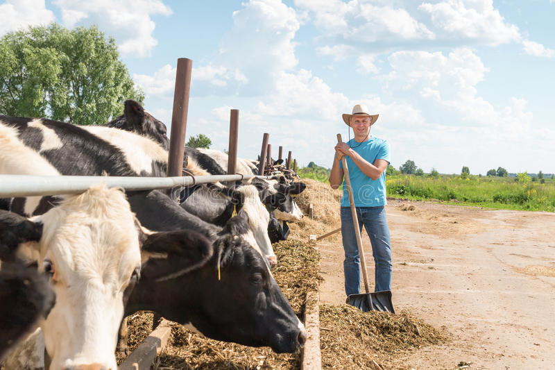 Bonde som arbetar på lantgård med mejerikor royaltyfria bilder
