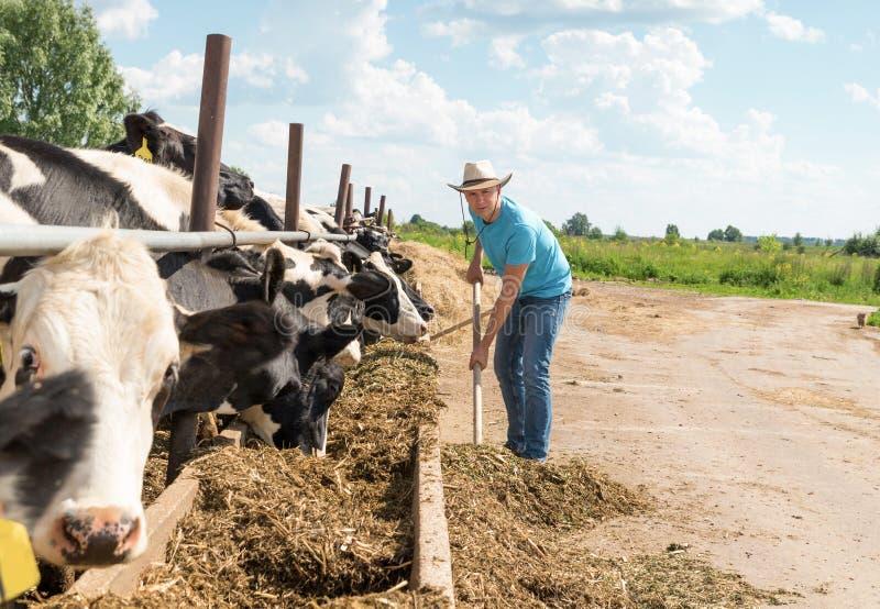 Bonde som arbetar på lantgård med mejerikor royaltyfri fotografi