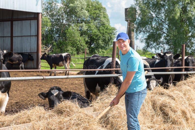 Bonde som arbetar på lantgård med mejerikor arkivbild