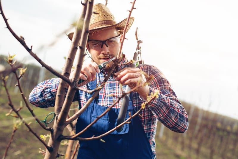 Bonde som beskär fruktträd i fruktträdgård royaltyfria foton
