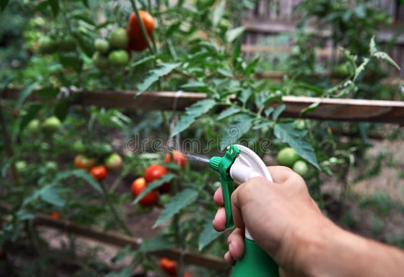 Bonde som bevattnar tomater arkivfoto