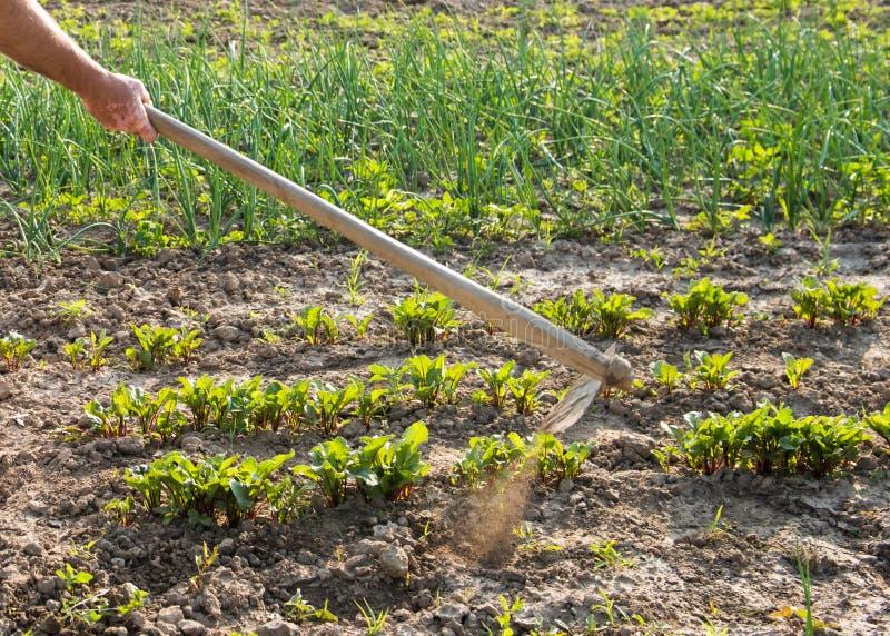 Bonde som hackar grönsakträdgården royaltyfri foto