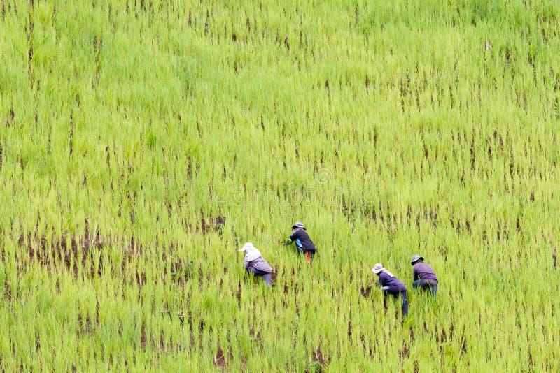 Bonde som planterar ris på en bergssida, hög höjdrisfält med allmoge arbeta arkivbild