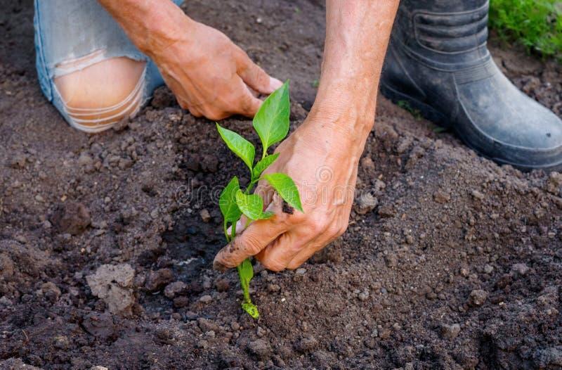 Bonde som planterar unga plantor av peppar i grönsakträdgård arkivbild