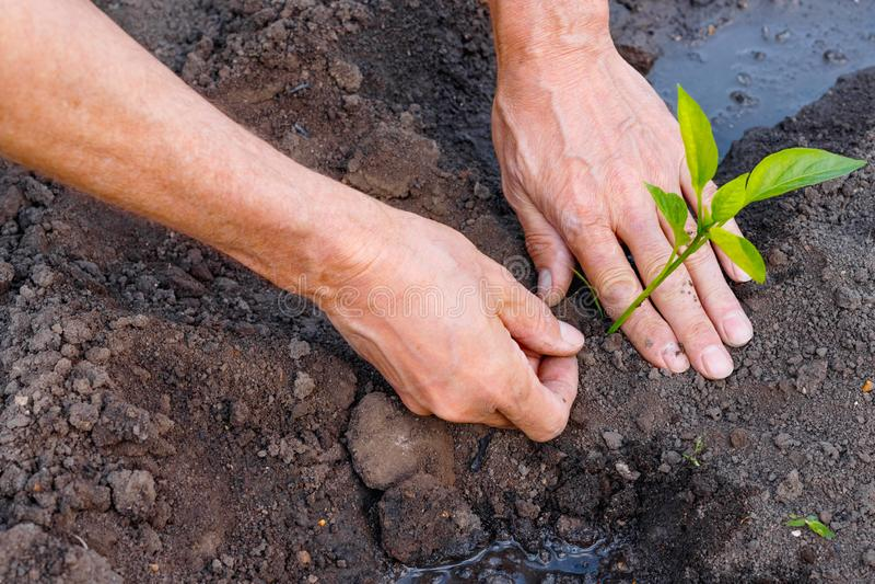 Bonde som planterar unga plantor av peppar i grönsakträdgård arkivbilder