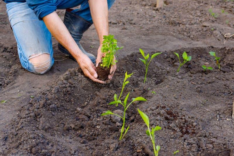 Bonde som planterar unga plantor av persilja i grönsakträdgård arkivbild