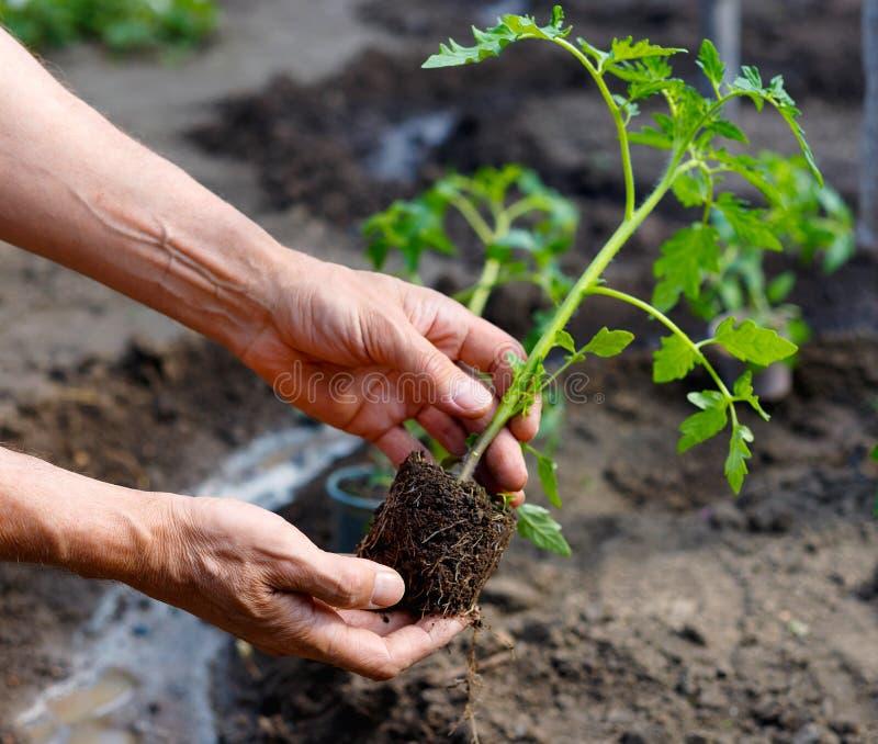Bonde som planterar unga plantor av tomaten i grönsakträdgård arkivbilder