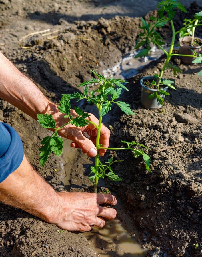 Bonde som planterar unga plantor av tomaten i grönsakträdgård royaltyfria foton