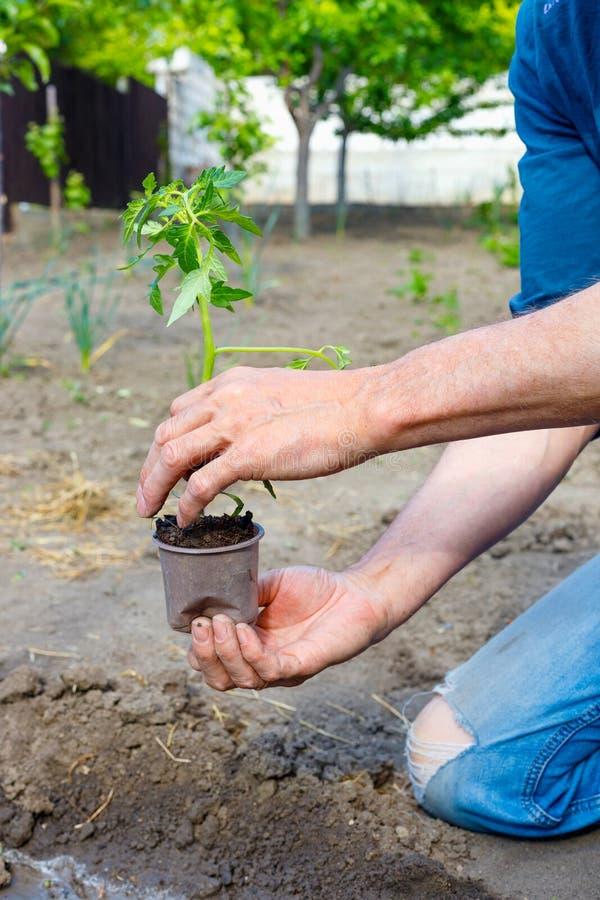 Bonde som planterar unga plantor av tomaten i grönsakträdgård royaltyfri fotografi