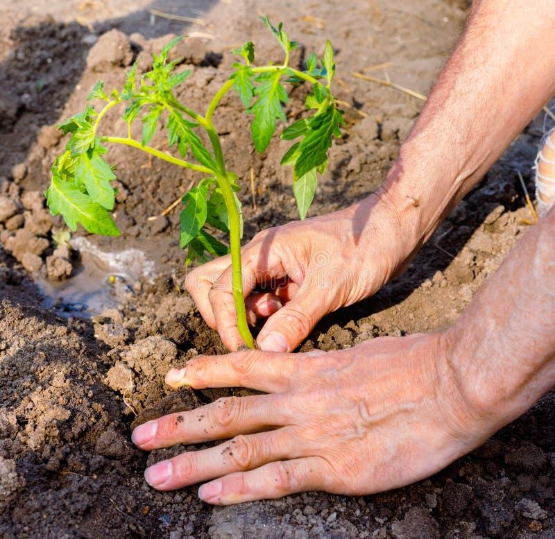 Bonde som planterar unga plantor av tomaten i grönsakträdgård arkivfoto