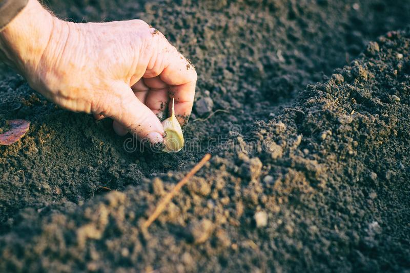 Bonde som planterar vitlök i grönsakträdgården royaltyfria bilder