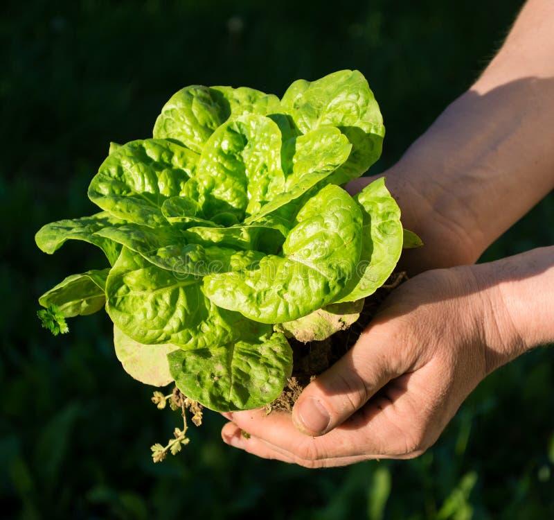 Bonde som rymmer en grön ung växt royaltyfri foto