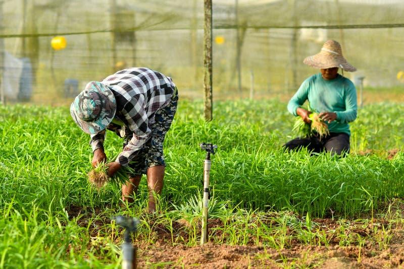 Bonde som skördar i organisk lantgård arkivfoto