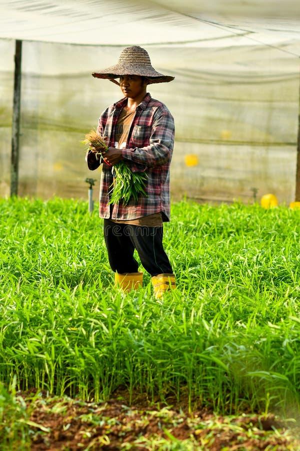 Bonde som skördar i organisk lantgård arkivfoton