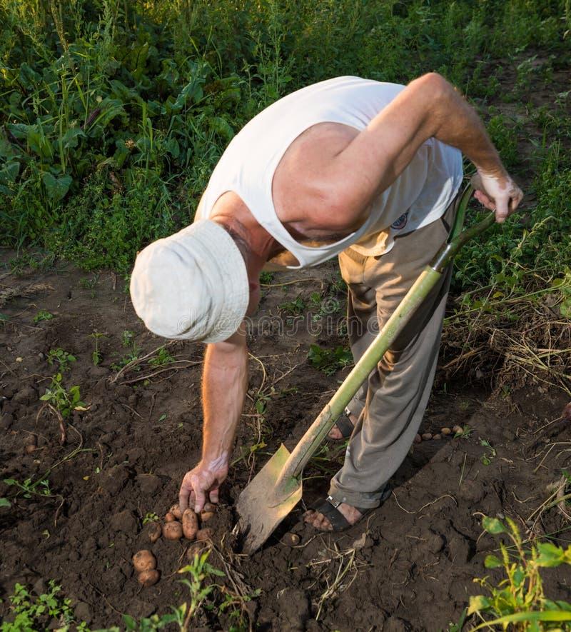 Bonde som skördar nya organiska potatisar arkivbilder