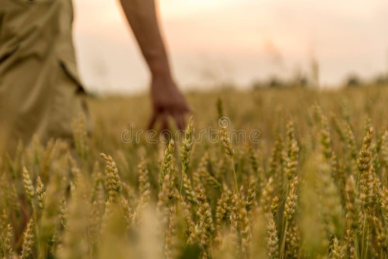 Bonde som trycker p? hans sk?rd med handen i ett guld- vetef?lt Sk?rda begrepp f?r organiskt lantbruk royaltyfria foton