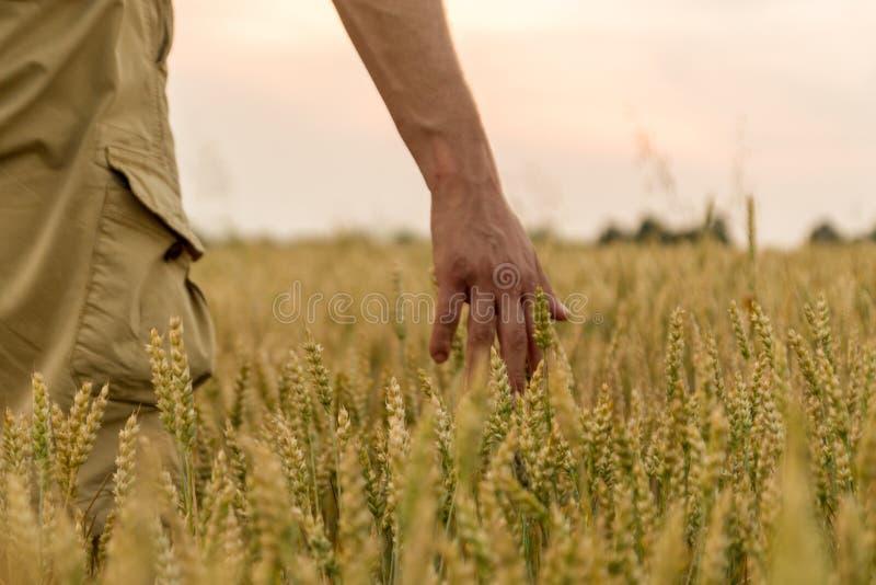 Bonde som trycker p? hans sk?rd med handen i ett guld- vetef?lt Sk?rda begrepp f?r organiskt lantbruk Selektivt fokusera arkivbild