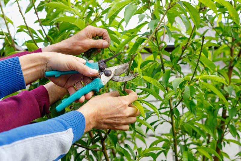 Bonde två mans att beskära träd i trädgård utomhus fotografering för bildbyråer