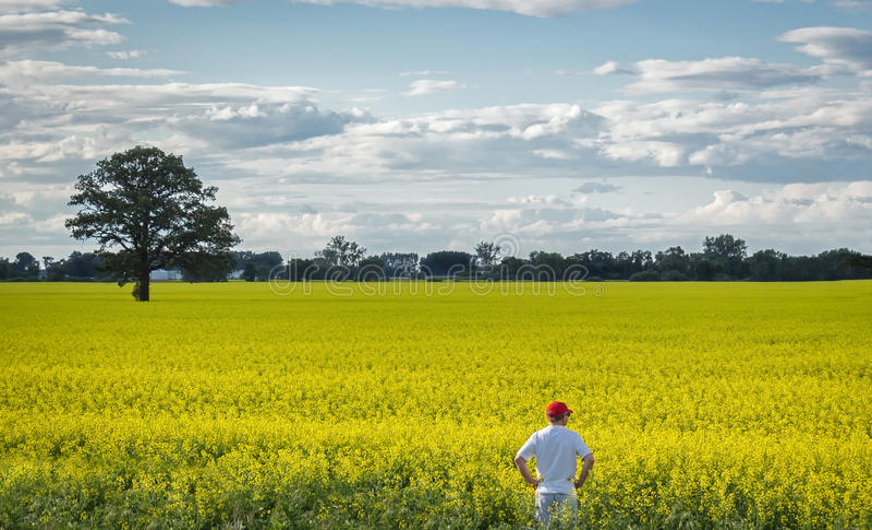Bondeanseende på kanten av ett gult canolafält i sommartiden royaltyfri fotografi