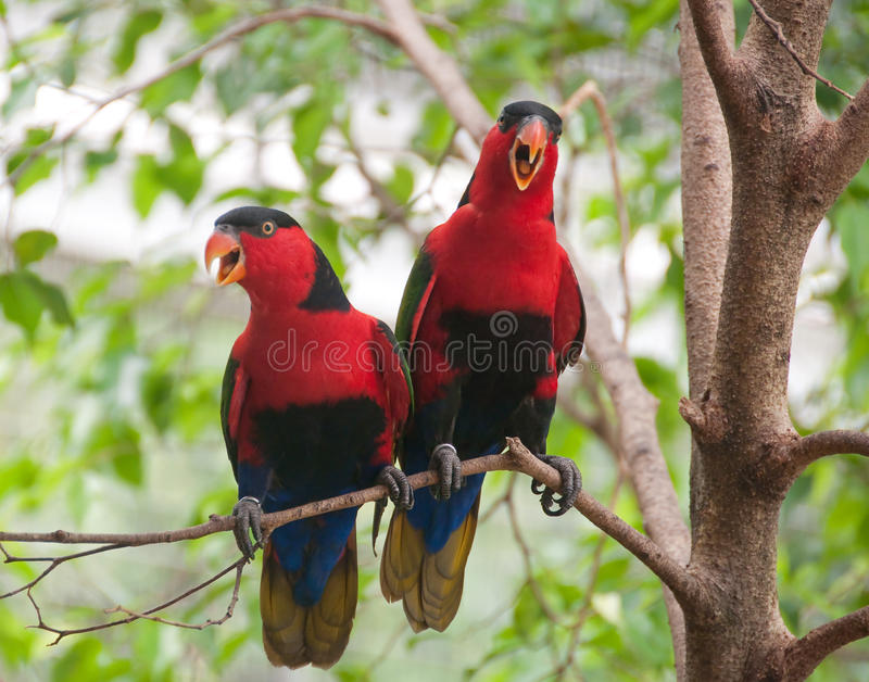 A bonded pair of squawking Black-capped Lories