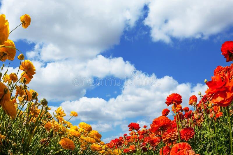 Bondefält av gula och röda smörblommor för blomning Söder av Israel, vårdag Frodiga stackmolnmoln i den blåa himlen mot som kroke fotografering för bildbyråer