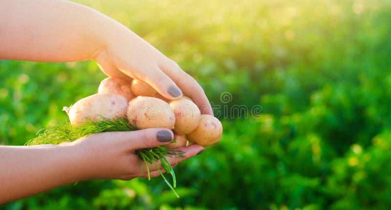 Bondehåll i hans händer barn gulnar potatisar plockningpotatis säsongsbetonat arbete i fältet åkerbruka produktgrönsaker för ny m arkivbilder