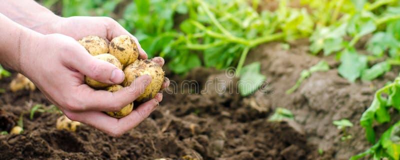 Bondehåll i hans händer gula potatisar för barn, plockning, säsongsbetonat arbete i fältet, nya grönsaker, agro-kultur, lantbruk royaltyfri bild