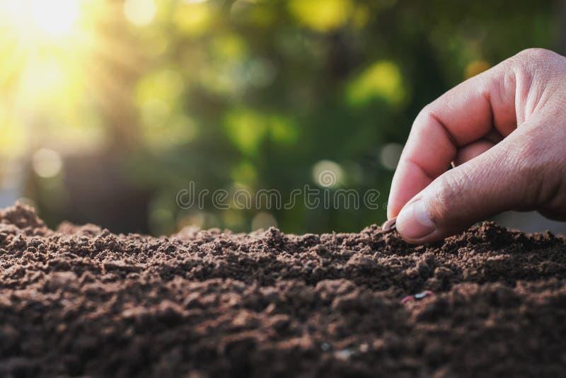 bondehand som planterar bönan av märg i grönsakträdgården med royaltyfria bilder