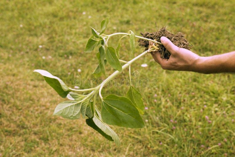 Bondehand som rymmer en solrosväxt i trädgården royaltyfri bild
