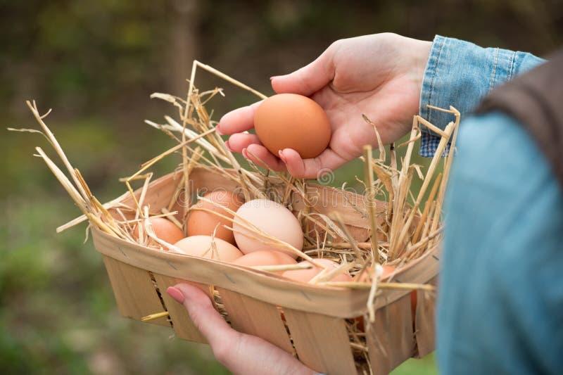 bondehand som rymmer ett nytt hönaägg och andra ägg i en korg arkivfoto