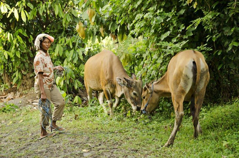 Bondekvinna med kor i bali indonesia royaltyfri bild