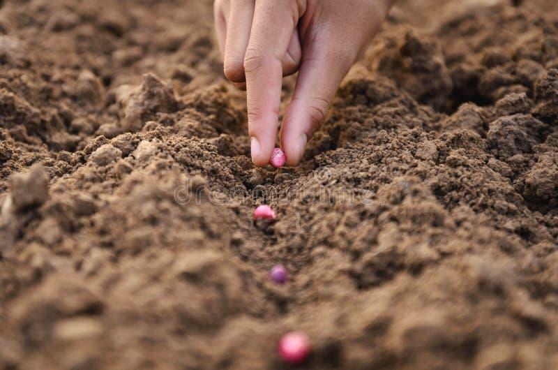 Bonden är att plantera för hand kärnar ur havre arkivbild