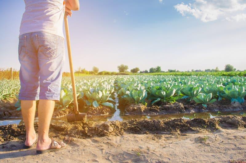 Bonden bevattnar fältet naturlig bevattning Kålkolonier växer i fältet grönsakrader Lantbrukjordbruk royaltyfri foto