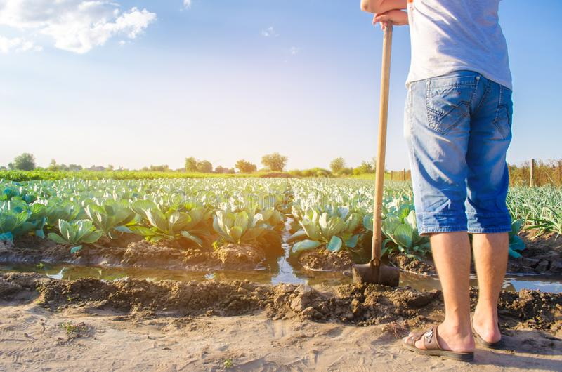 Bonden bevattnar fältet naturlig bevattning Kålkolonier växer i fältet grönsakrader Lantbrukjordbruk royaltyfri bild