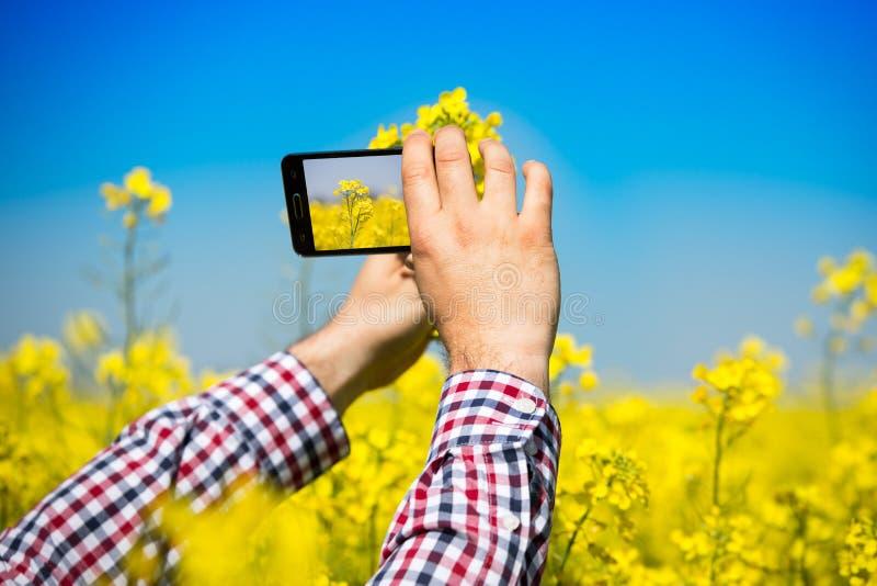Bonden kontrollerar kvalitet av canolafältet och tafotoet med mobiltelefonen royaltyfria bilder