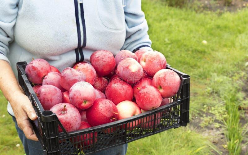 Bonden rymmer en skörd av röda mogna äpplen fotografering för bildbyråer