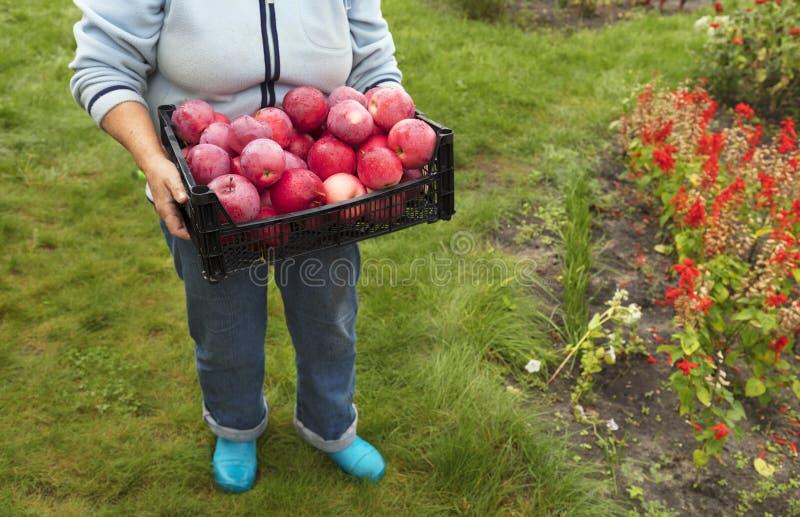 Bonden rymmer en skörd av röda mogna äpplen arkivbilder