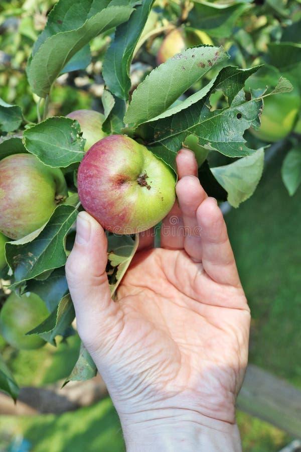 Bonden rymmer ett wormy äpple i hans hand, som hänger på royaltyfri bild