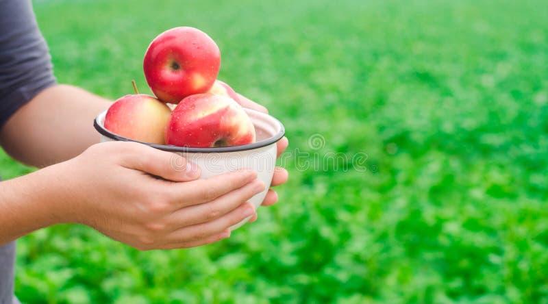 Bonden rymmer nya äpplen samlade i trädgården autum royaltyfri bild