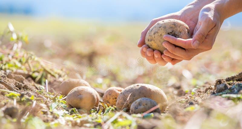 Bonden rymmer nya potatisar i hans händer Skörd organisk vegetarisk mat royaltyfria bilder