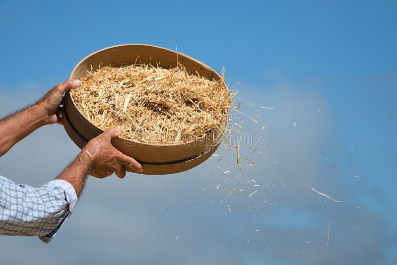 Bonden siktar korn under plockningtid att ta bort skoj royaltyfria foton