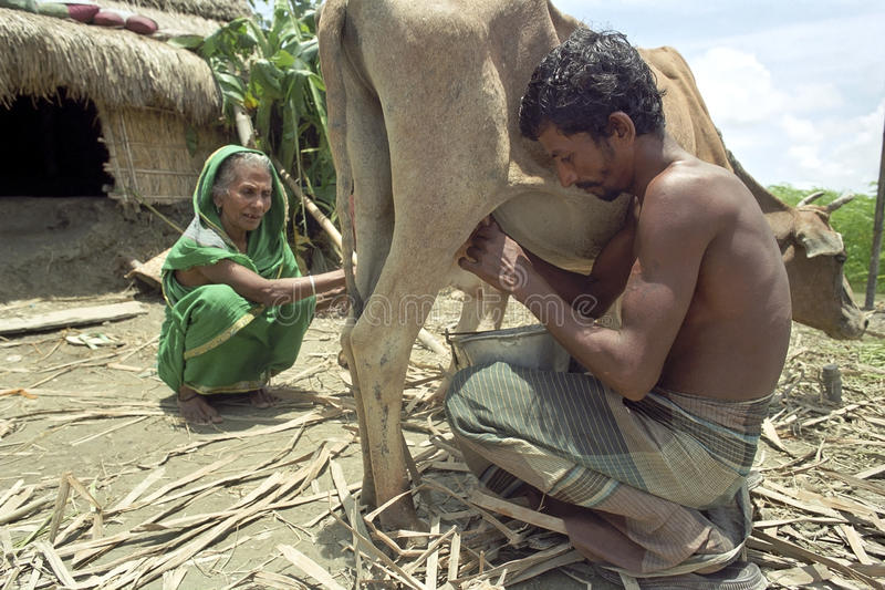 Bonden sitter squatting mjölka kon i gårdsplan royaltyfri foto