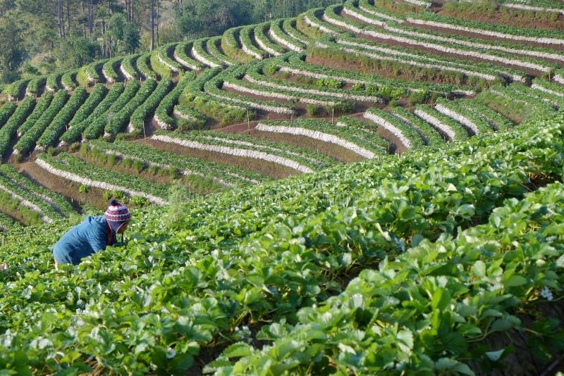 Bonden skördar jordgubbefrukter fotografering för bildbyråer